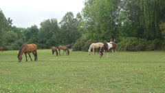 troupeau-chevaux-new-foret