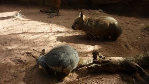 Wombat australian wildlife sydney