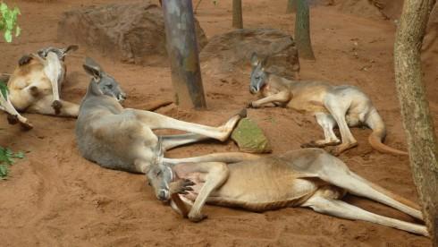 kangourous australian wildlife sydney