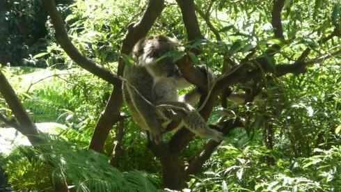 koala taronga zoo