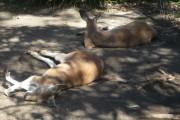 kangourou taronga zoo