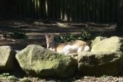 kagourou taronga zoo