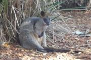 wallabie taronga zoo