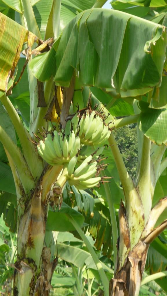 Koh Chang bananes