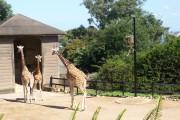 Giraffe taronga zoo