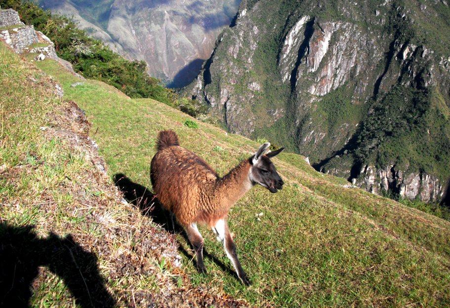un lama au Machu Picchu - voyage pérou