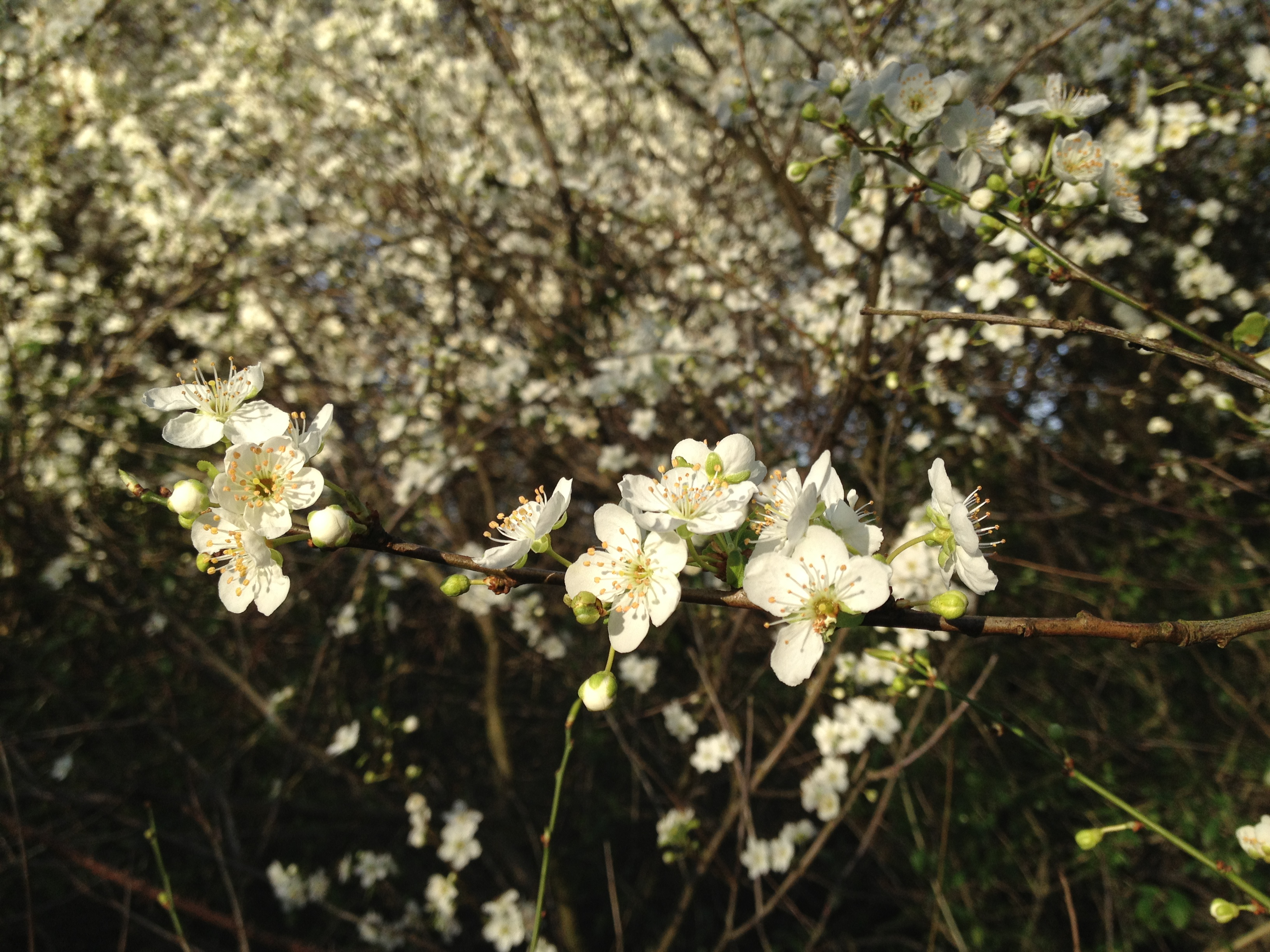 angleterre printemps