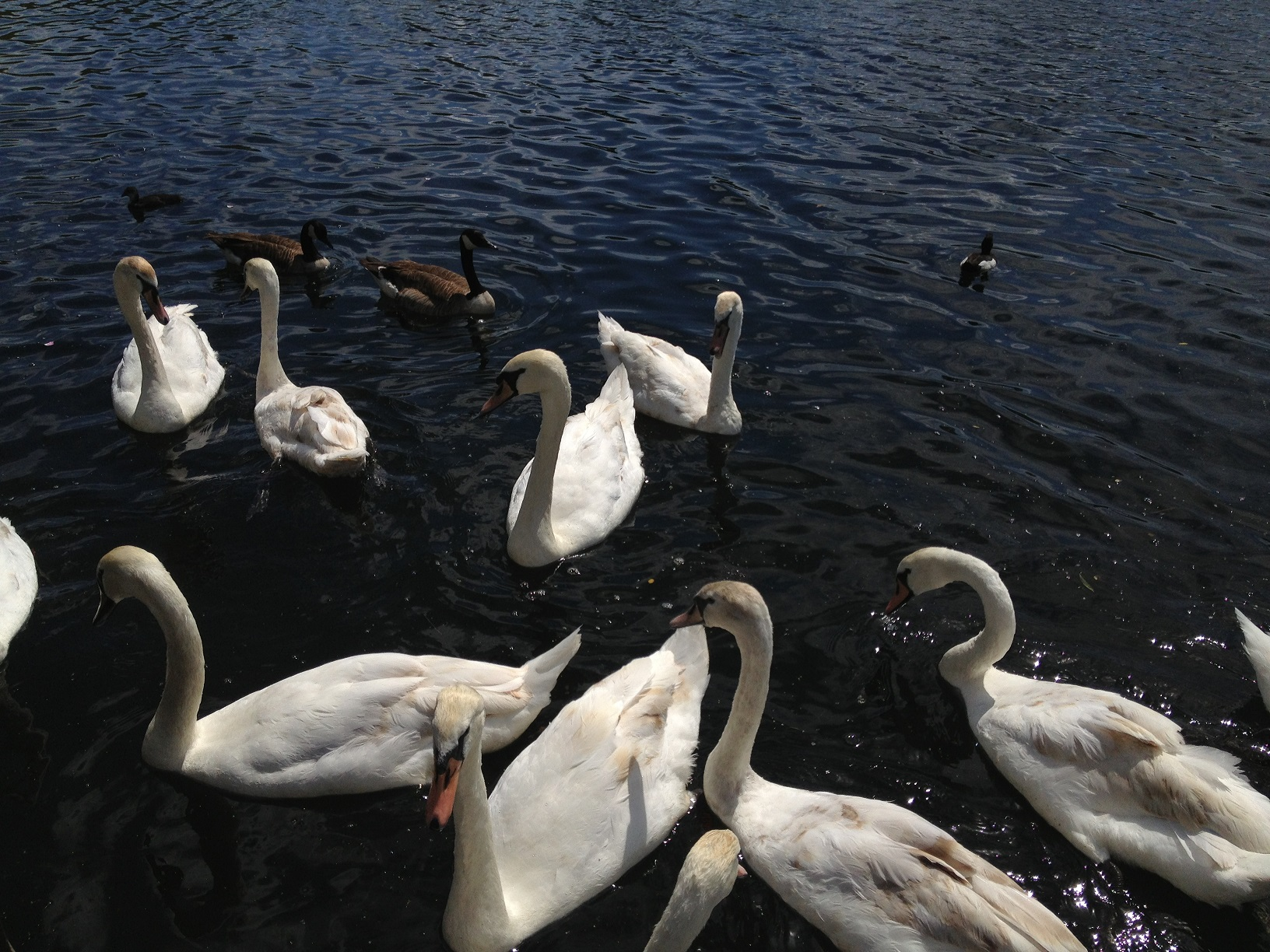 cygnes de lee valley park