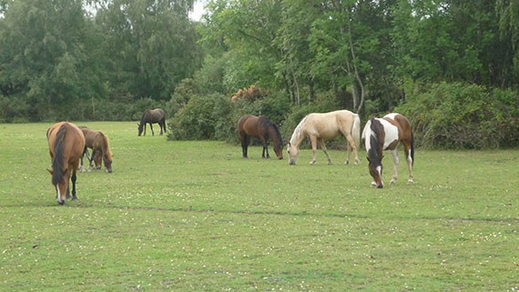 new-forest-chevaux