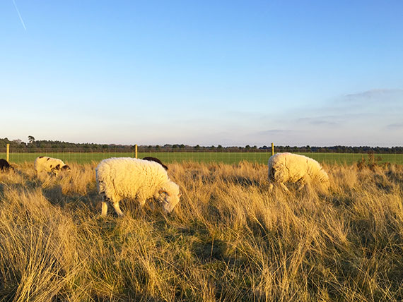 moutons-sutton-hoo