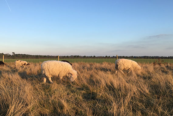 sutton-hoo-moutons