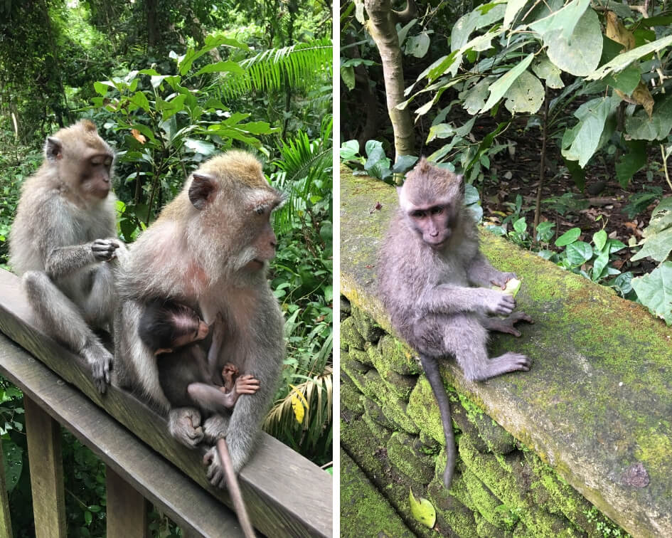 singes-foret-des-singes-bali